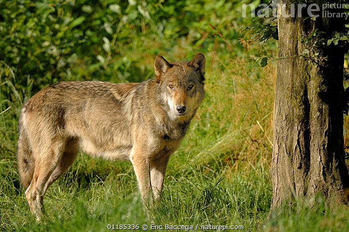 Grey wolf (Canis lupus) beside tree, captive France captive, France  ,  CANIDS,CARNIVORES,EUROPE,MAMMALS,PORTRAITS,VERTEBRATES,WOLVES,Dogs  ,  Eric Baccega
