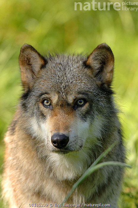 Grey wolf (Canis lupus), captive France captive, France  ,  CANIDS,CARNIVORES,EUROPE,MAMMALS,PORTRAITS,VERTEBRATES,VERTICAL,WOLVES,Dogs  ,  Eric Baccega