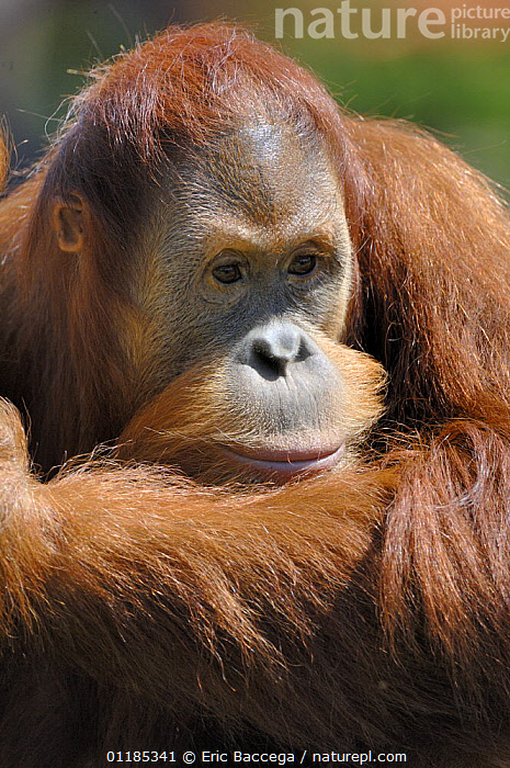 Orang utan (Pongo pygmaeus) young male (aged 9 years), captive, IUCN red list of endangered species  ,  ENDANGERED,GREAT APES,MALES,MAMMALS,ORANGUTAN,PORTRAITS,PRIMATES,VERTICAL  ,  Eric Baccega