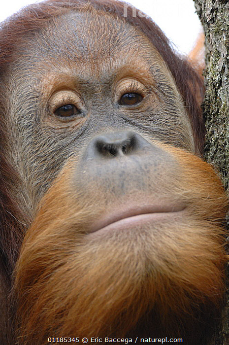 Orang utan (Pongo pygmaeus), young male aged 9 years, captive, IUCN red list of endangered species  ,  CLOSE UPS,ENDANGERED,FACES,GREAT APES,MALES,MAMMALS,ORANGUTAN,PORTRAITS,PRIMATES,VERTICAL  ,  Eric Baccega
