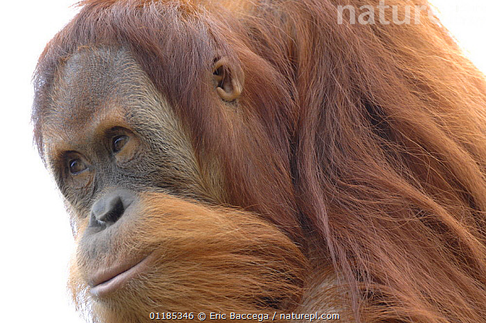 Orang utan (Pongo pygmaeus), young male aged 9 years, captive, IUCN red list of endangered species  ,  ENDANGERED,GREAT APES,HUMOROUS,MALES,MAMMALS,ORANGUTAN,PORTRAITS,PRIMATES,Concepts  ,  Eric Baccega