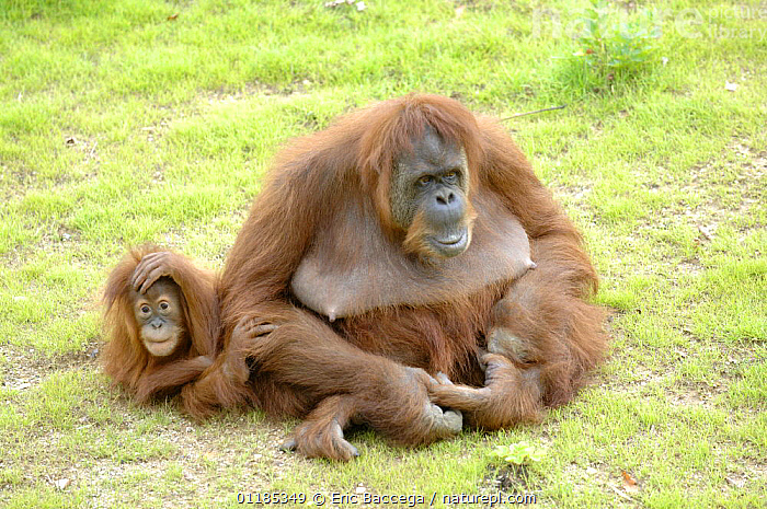 Orang utan (Pongo pygmaeus) female with her baby, captive, IUCN red list of endangered species  ,  BABIES,ENDANGERED,FAMILIES,FEMALES,GREAT APES,HUMOROUS,MAMMALS,MOTHER BABY,ORANGUTAN,PRIMATES,Concepts  ,  Eric Baccega