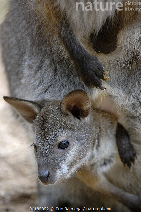 Red-necked wallaby (Macropus rufogriseus rufogriseus) joey looking out of pouch. Captive, IUCN red list of endangered species  ,  BABIES,CUTE,JUVENILE,MAMMALS,MARSUPIALS,MOTHER BABY,PORTRAITS,VERTEBRATES,VERTICAL,WALLABIES,Kangaroos  ,  Eric Baccega
