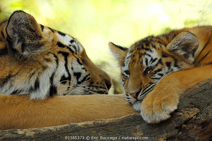 Siberian tiger (Panthera tigris alta�ca) female with her cub resting. Captive, IUCN red list of endangered species  ,  BABIES,BIG CATS,CARNIVORES,CUTE,ENDANGERED,FAMILIES,MAMMALS,MOTHER BABY,TIGERS,TWO  ,  Eric Baccega
