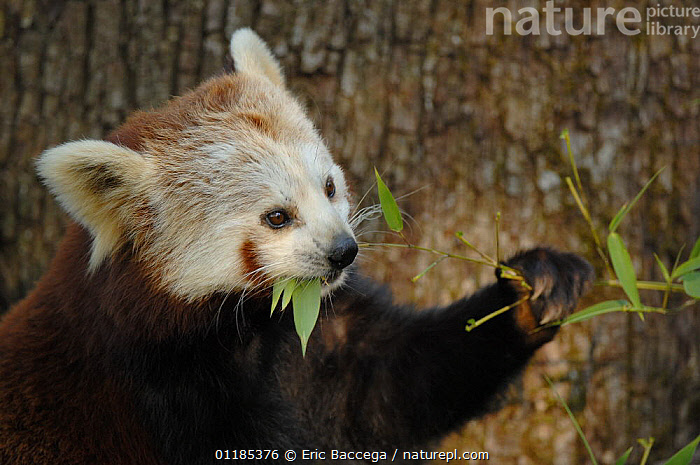 Red panda (Ailurus fulgens) feeding on bamboo leaves, captive, IUCN red list of endangered species  ,  BEARS,CARNIVORES,ENDANGERED,FEEDING,MAMMALS,PANDAS,PORTRAITS,VERTEBRATES  ,  Eric Baccega