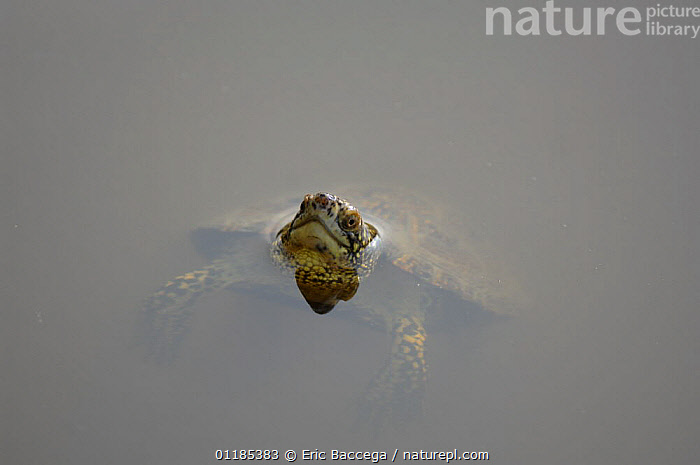 European pond turtle (Emys orbicularis) swimming, IUCN red list of endangered species  ,  CHELONIA,EUROPE,FACES,FRANCE,HEADS,HUMOROUS,POND TURTLES,PORTRAITS,REPTILES,VERTEBRATES,WATER,Concepts, Turtles  ,  Eric Baccega