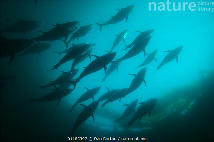 Bluefin tuna {Thunnus thynnus} in fish farm, Kusimoto, South Japan  ,  FISH,fish farming,GROUPS,JAPAN,MARINE,OSTEICHTHYES,PACIFIC,SILHOUETTES,TEMPERATE,TUNA,UNDERWATER,VERTEBRATES,Asia  ,  Dan Burton