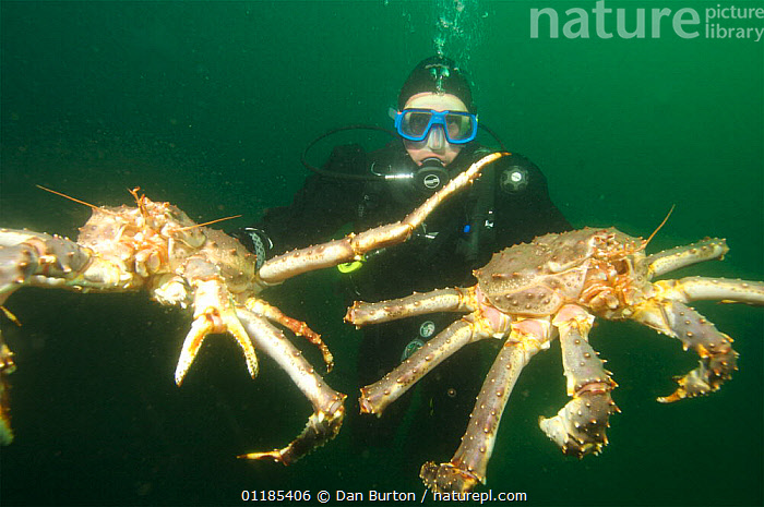 Diver holding two Giant red king crabs {Paralithodes camtschaticus} Kirkiness, Norway  ,  crab,CRUSTACEANS,DIVING,HORIZONTAL,INVERTEBRATES,KING CRABS,kirkenes,MARINE,NORWAY,PEOPLE,SCANDINAVIA,SIZE,TEMPERATE,UNDERWATER,Europe  ,  Dan Burton