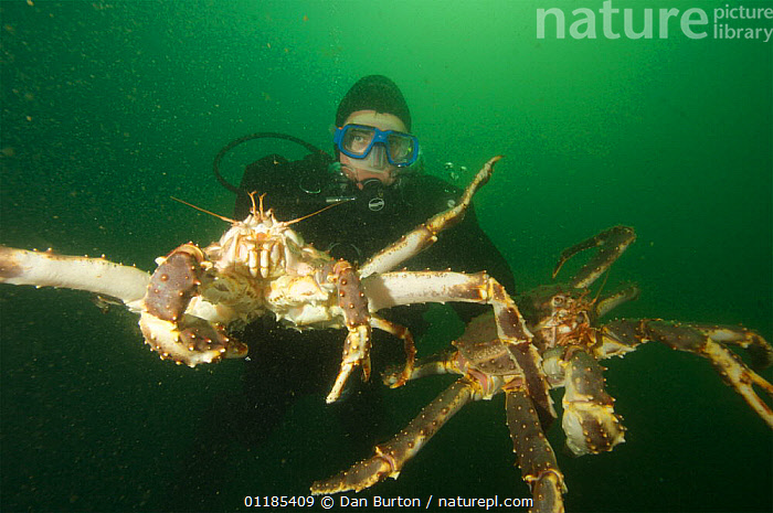 Diver with two Giant red king crabs {Paralithodes camtschaticus} Kirkiness, Norway  ,  crab,CRUSTACEANS,DIVING,INVERTEBRATES,KING CRABS,kirkenes,MARINE,NORWAY,PEOPLE,SCANDINAVIA,SIZE,TEMPERATE,UNDERWATER,Europe  ,  Dan Burton