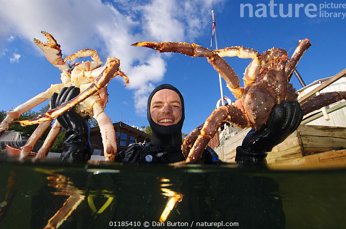 Diver coming to the surface with two Giant red king crabs {Paralithodes camtschaticus} Kirkiness, Norway  ,  crab,CRUSTACEANS,Fishing,INVERTEBRATES,KING CRABS,kirkenes,MARINE,NORWAY,PEOPLE,SCANDINAVIA,SIZE,split level,TEMPERATE,Europe, Scandinavia, Scandinavia  ,  Dan Burton