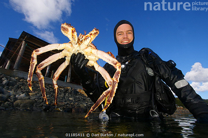 Diver coming to the surface with Giant red king crab {Paralithodes camtschaticus} Kirkiness, Norway  ,  COASTS,CRUSTACEANS,DIVING,Fishing,INVERTEBRATES,KING CRABS,kirkenes,MARINE,NORWAY,PEOPLE,SCANDINAVIA,SIZE,TEMPERATE,Europe, Scandinavia, Scandinavia  ,  Dan Burton
