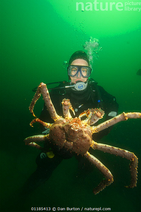 Diver with Giant red king crab {Paralithodes camtschaticus} Kirkiness, Norway  ,  CRUSTACEANS,DIVING,INVERTEBRATES,KING CRABS,kirkenes,MARINE,NORWAY,PEOPLE,SCANDINAVIA,SIZE,TEMPERATE,UNDERWATER,VERTICAL,Europe  ,  Dan Burton