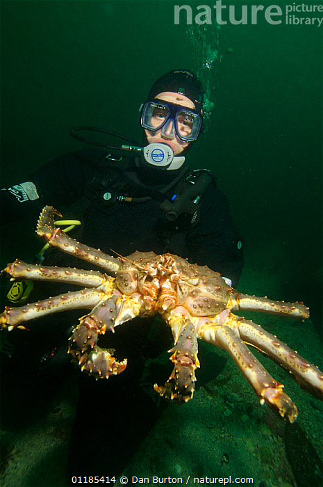 Diver with Giant red king crab {Paralithodes camtschaticus} Kirkiness, Norway  ,  CLAWS,CRUSTACEANS,DIVING,INVERTEBRATES,KING CRABS,kirkenes,MARINE,NORWAY,PEOPLE,PORTRAITS,SCANDINAVIA,SIZE,TEMPERATE,UNDERWATER,VERTICAL,Europe  ,  Dan Burton