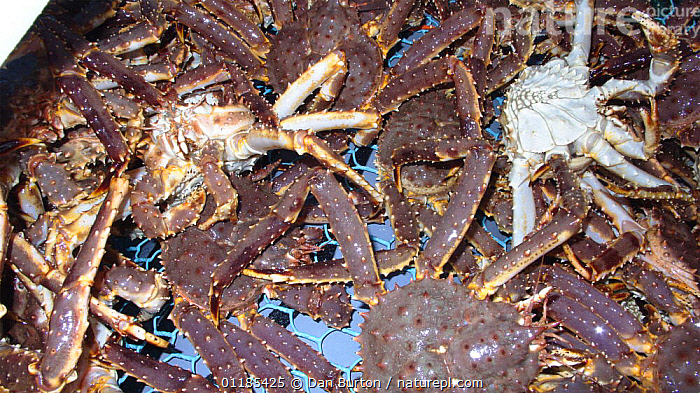 Large catch of Giant red king crabs {Paralithodes camtschaticus} Kirkiness, Norway  ,  crab,CRUSTACEANS,FISHERIES,Fishing,GROUPS,INVERTEBRATES,KING CRABS,MARINE,NORWAY,SCANDINAVIA,TEMPERATE,Europe, Scandinavia, Scandinavia  ,  Dan Burton