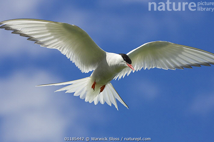 Arctic tern {Sterna paradisaea} hovering, Inner Farne, Farne Islands, UK  ,  BIRDS,EUROPE,FLYING,PORTRAITS,SEABIRDS,TERNS,UK,VERTEBRATES,United Kingdom,British  ,  Warwick Sloss