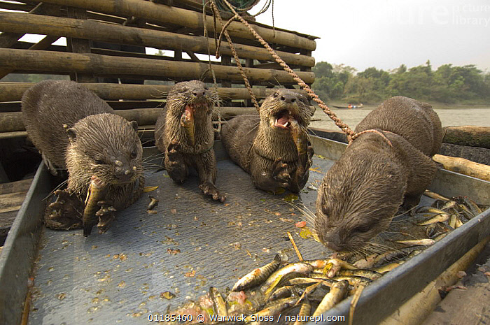 Smooth indian river otters {Lutra perspicillata} used by fishermen for catching fish, feeding on fish on boat, Ganges/Brahmaputra delta, Sunderbans, Bangledesh  ,  ASIA,BEHAVIOUR,BOATS,CARNIVORES,FEEDING,MAMMALS,OTTER,OTTERS,RIVERS,TRADITIONAL,WORKING,Mustelids  ,  Warwick Sloss