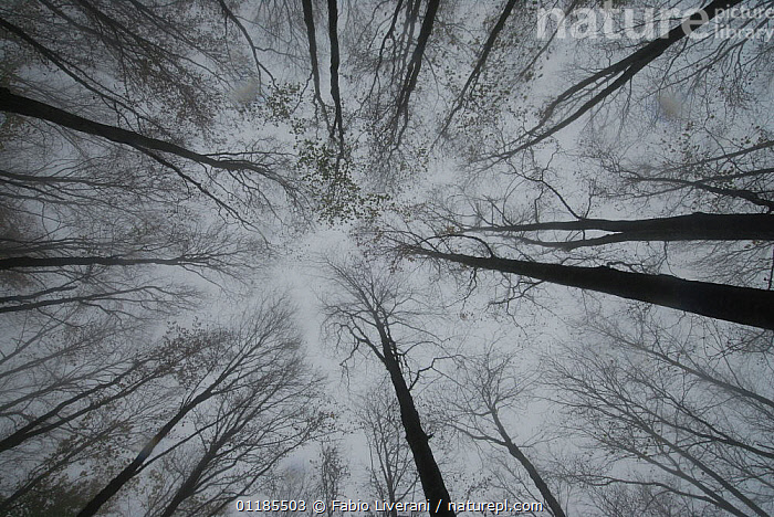 Looking up at beech trees in the Foreste Casentinesi, Monte Falterona, Campigna, Apennines of Tuscany and Romagna, Italy  ,  ABSTRACT,ARTY SHOTS,Beech,beechwood,BLACK,CANOPY,deciduous,EUROPE,FORESTS,HIGH ANGLE,TREES,WHITE,WINTER,Plants,Apennines,Appennines,  ,  Fabio Liverani
