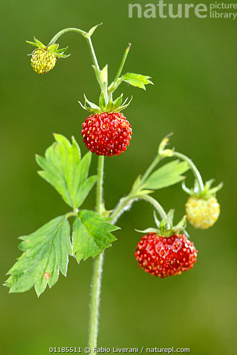 Wild strawberry (Fragaria vesca), Grigne Montain, Lombardia Region, Italy  ,  DICOTYLEDONS,EUROPE,FRUIT,ITALY,PLANTS,ROSACEAE,SEEDS,VERTICAL  ,  Fabio Liverani