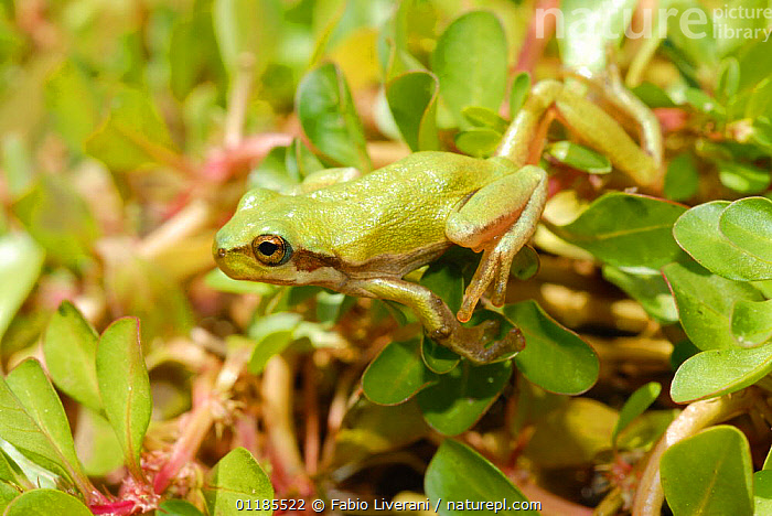 Sardinian tree frog (Hyla sarda) on leaves, Corsica Island, France  ,  AMPHIBIANS,CAMOUFLAGE,corsica,EUROPE,FROGS,GREEN,PORTRAITS,TREE FROGS,VERTEBRATES,Anura  ,  Fabio Liverani