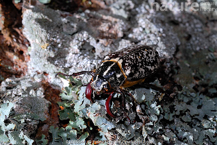 Pine chafer (Polyphylla fullo) on lichen-covered rock, Corsica, Europe  ,  CAMOUFLAGE,CHAFERS,COLEOPTERA,corsica,EUROPE,INSECTS,INVERTEBRATES,LICHEN,PORTRAITS,SCARAB BEETLES  ,  Fabio Liverani