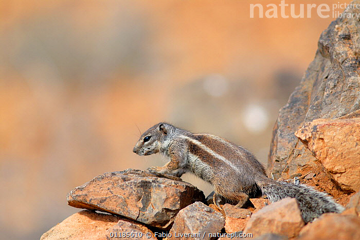African ground squirrel (Xerus sp.) on rocks.  Fuerteventura, Canary Isles, Spain, September 2007  ,  ATLANTIC ISLANDS,CANARY ISLANDS,EUROPE,GROUND SQUIRRELS,MAMMALS,PORTRAITS,PROFILE,RODENTS,VERTEBRATES  ,  Fabio Liverani
