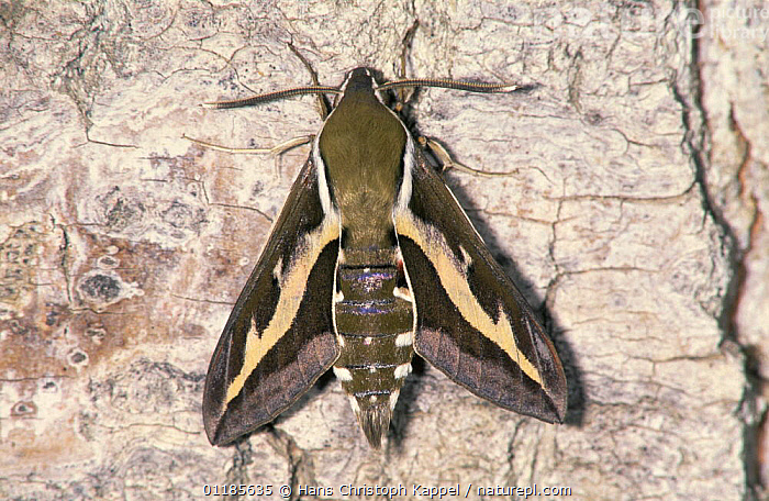 Bedstraw hawkmoth {Hyles gallii} resting on bark, Germany  ,  EUROPE,GERMANY,HAWKMOTHS,INSECTS,INVERTEBRATES,LEPIDOPTERA,MOTHS  ,  Hans Christoph Kappel