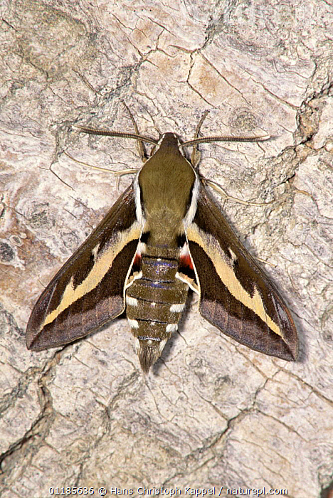 Bedstraw hawkmoth {Hyles gallii} resting on bark, Germany  ,  EUROPE,GERMANY,HAWKMOTHS,INSECTS,INVERTEBRATES,LEPIDOPTERA,MOTHS,VERTICAL  ,  Hans Christoph Kappel