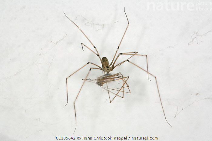 Daddy longlegs spider {Pholcus phalangioides} next to dead spider, Germany  ,  ARACHNIDS,ARTHROPODS,CARCASS,CUTOUT,EUROPE,GERMANY,INVERTEBRATES,SHEDDING,SKIN,SPIDERS  ,  Hans Christoph Kappel