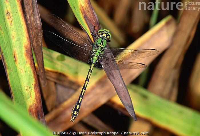 Green club-tailed dragonfly {Ophiogomphus cecilia} male, Germany  ,  ARTHROPODS,DRAGONFLIES,EUROPE,GERMANY,INSECTS,INVERTEBRATES,MALES,ODONOTA,Odonata  ,  Hans Christoph Kappel