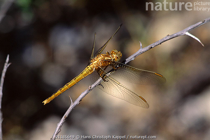 Keeled skimmer dragonfly {Orthetrum coerulescens}young female resting on branch, France  ,  ARTHROPODS, DRAGONFLIES, EUROPE, FEMALES, FRANCE, INSECTS, INVERTEBRATES, ODONATA  ,  Hans Christoph Kappel
