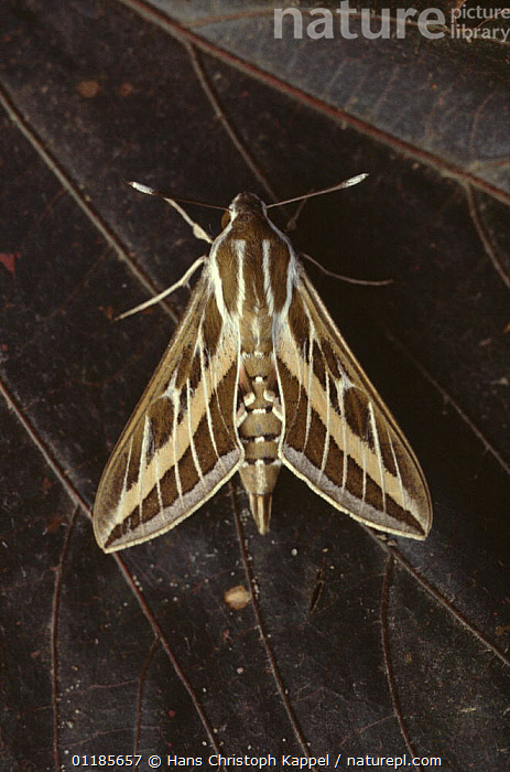 Striped hawkmoth {Hyles livornica} Gambia  ,  CELERIO LINEATA, gambia, HAWKMOTHS, INSECTS, INVERTEBRATES, LEPIDOPTERA, MOTHS, VERTICAL, WEST-AFRICA,Africa  ,  Hans Christoph Kappel