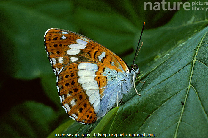 White admiral butterfly {Limenitis / Limenitis camilla} Germany  ,  ARTHROPODS, BUTTERFLIES, EUROPE, GERMANY, INSECTS, INVERTEBRATES, LEPIDOPTERA, PROFILE  ,  Hans Christoph Kappel