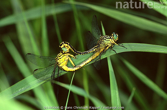 Yellow legged club tailed dragonfly {Gomphus flvipes} mating, Germany  ,  ARTHROPODS,BEHAVIOUR,COPULATION,DRAGONFLIES,EUROPE,GERMANY,INSECTS,INVERTEBRATES,MATING,MATING BEHAVIOUR,ODONATA,REPRODUCTION  ,  Hans Christoph Kappel