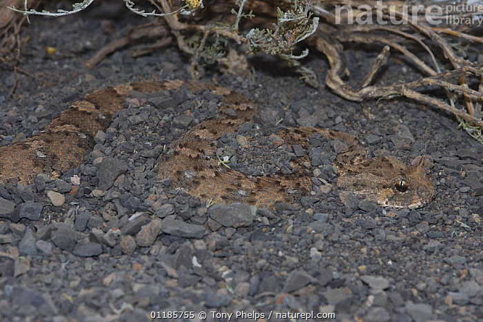 Horned adder {Bitis caudalis} 'cratered' in ambush mode in gravel plain habitat, Beaufort, West Great Karoo, South Africa  ,  AFRICA,CAMOUFLAGE,PREDATION,REPTILES,SNAKES,SOUTHERN AFRICA,VERTEBRATES,VIPERS,Behaviour, Adders,Adders, Snakes, Adders, Snakes  ,  Tony Phelps