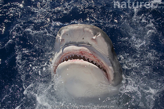 Tiger shark (Galeocerdo cuvier) lunging for bait, North Shore, Oahu, Hawaii, USA, Central Pacific Ocean  ,  BEHAVIOUR,CHONDRICHTHYES,DRAMATIC,FEEDING,FISH,JAWS,JUMPING,MARINE,MOUTHS,OCEAN,PACIFIC,SEA,SHARKS,SURFACE,TEETH,TROPICAL,UNDERWATER,USA,North America, Fish,CONCEPTS  ,  Doug Perrine
