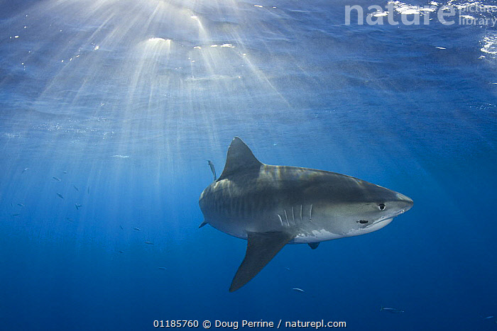Tiger shark (Galeocerdo cuvier) North Shore, Oahu, Hawaii, USA, Central Pacific Ocean, note: parasitic leech on side of face  ,  CHONDRICHTHYES,MARINE,OCEAN,PACIFIC,PORTRAITS,RAYS,SHARKS,SUNLIGHT,TROPICAL,UNDERWATER,USA,North America,Fish, Fish,Catalogue1  ,  Doug Perrine