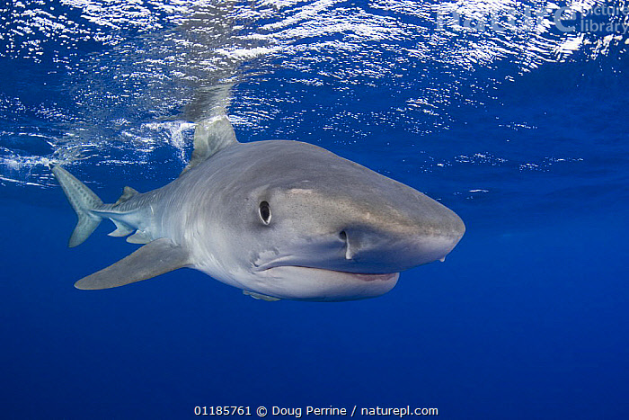 Tiger shark (Galeocerdo cuvier) portrait, North Shore, Oahu, Hawaii, USA, Central Pacific Ocean,  ,  CHONDRICHTHYES,EYES,FACES,MARINE,OCEAN,PACIFIC,PORTRAITS,SHARKS,TROPICAL,UNDERWATER,USA,North America,Fish, Fish  ,  Doug Perrine