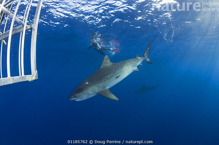 Diver swimming with Tiger shark (Galeocerdo cuvier) outside shark cage, North Shore, Oahu, Hawaii, USA, Central Pacific Ocean (MR 389)  ,  CHONDRICHTHYES,DANGEROUS,DIVING,MARINE,OCEAN,PACIFIC,PEOPLE,PHOTOGRAPHY,SEA,SHARKS,TROPICAL,UNDERWATER,USA,North America,Fish, Fish  ,  Doug Perrine