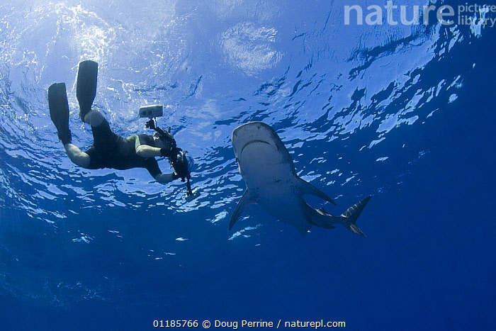 Photographer films Tiger shark (Galeocerdo cuvier) underwater, North Shore, Oahu, Hawaii, USA, Central Pacific Ocean (MR 390)  ,  CAMERA,CHONDRICHTHYES,DANGEROUS,DIVING,MARINE,OCEAN,PACIFIC,PEOPLE,SEA,SHARKS,TROPICAL,UNDERWATER,USA,North America,Fish, Fish  ,  Doug Perrine