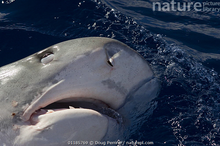 Tiger shark (Galeocerdo cuvier) lunging for bait, showing nictitating membrane covering eye to protect it, North Shore, Oahu, Hawaii, USA, Central Pacific Ocean  ,  BEHAVIOUR,CHONDRICHTHYES,EYELID,EYES,MARINE,MOUTHS,NOSTRILS,OCEAN,PACIFIC,SEA,SHARKS,SURFACE,TROPICAL,USA,North America,Fish, Fish  ,  Doug Perrine