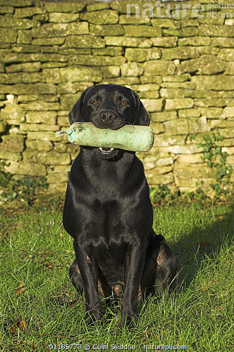 Black Labrador, sitting with training dummy in mouth, UK  ,  DOGS,EUROPE,GUNDOGS,OUTDOORS,PETS,PORTRAITS,RETRIEVER,RETRIEVING,UK,VERTEBRATES,United Kingdom,British,Canids  ,  Colin Seddon