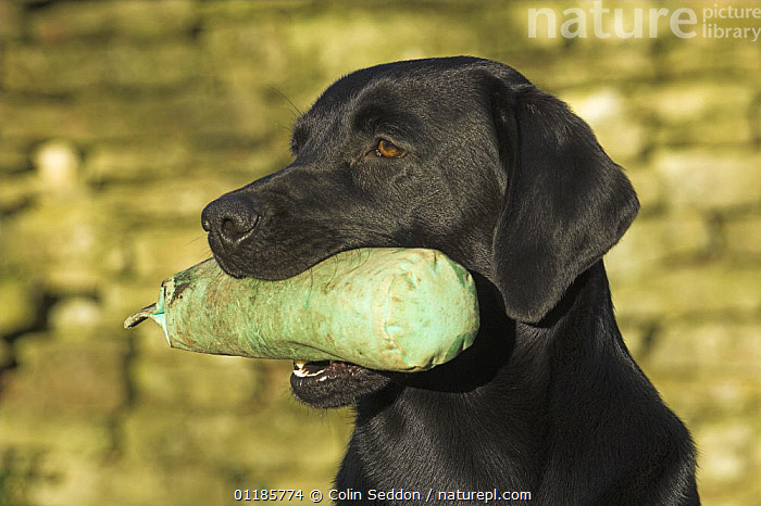 Black Labrador with training dummy in mouth, UK  ,  DOGS,EUROPE,GUNDOGS,MOUTHS,OUTDOORS,PEDIGREE,PETS,RETRIEVER,RETRIEVING,SPORTING,UK,VERTEBRATES,United Kingdom,British,Canids  ,  Colin Seddon