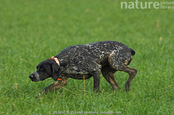 German short-haired pointer bitch sniffing grass, UK  ,  DOGS,EUROPE,FEMALES,GUNDOGS,OUTDOORS,PEDIGREE,PETS,SMELL ,SMELLING,SPORTING,UK,VERTEBRATES,United Kingdom,British,Canids  ,  Colin Seddon