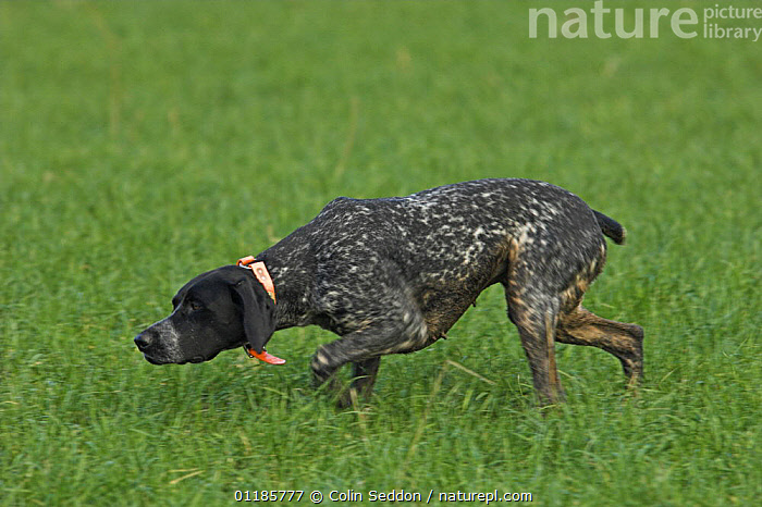 German short-haired pointer, bitch sniffing grass, UK  ,  DOGS,EUROPE,GRASS,GUNDOGS,NOSES,OUTDOORS,PEDIGREE,PETS,PROFILE,SCENT,SMELING,SMELL ,SPORTING,UK,VERTEBRATES,United Kingdom,Plants,British,Canids  ,  Colin Seddon