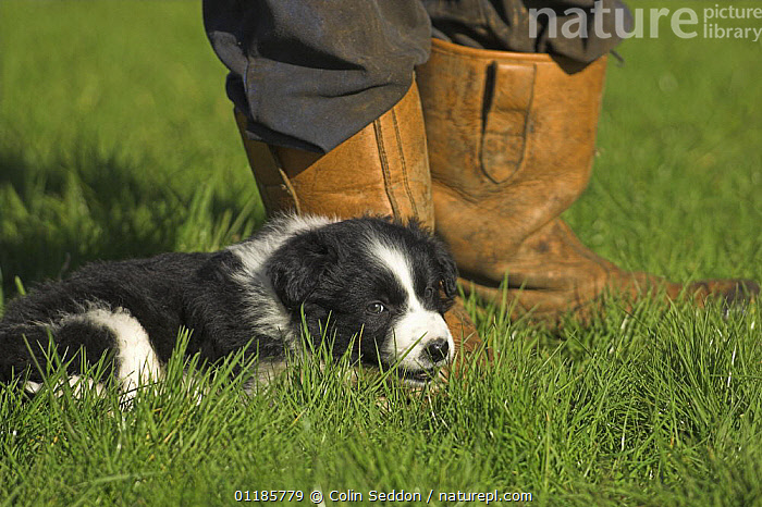 Border Collie, 6-week puppy, lying next to owner's feet, UK  ,  DOGS,EUROPE,OUTDOORS,PEDIGREE,PEOPLE,PETS,PORTRAITS,SHEEPDOG,UK,VERTEBRATES,YOUNG,United Kingdom,British,Canids  ,  Colin Seddon