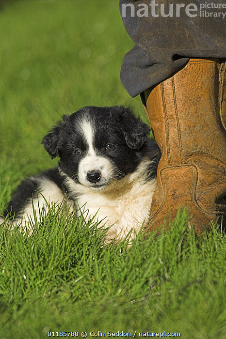 Border Collie, 6-week puppy, lying next to owner's feet, UK  ,  CUTE,DOGS,EUROPE,LITTLE,OUTDOORS,PEDIGREE,PEOPLE,PETS,PORTRAITS,SHEEPDOG,UK,VERTEBRATES,VERTICAL,YOUNG,United Kingdom,British,Canids  ,  Colin Seddon