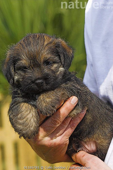 Border Terrier, 5-week puppy, held in hand, UK  ,  DOGS,EUROPE,OUTDOORS,PEDIGREE,PETS,PORTRAITS,UK,VERTEBRATES,VERTICAL,YOUNG,United Kingdom,British,Canids  ,  Colin Seddon
