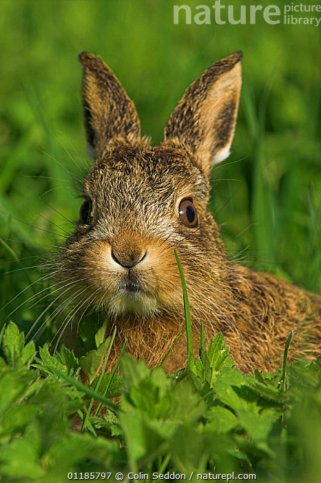 Brown hare {Lepus europaeus} 4-week leveret, UK  ,  BABIES,BROWN-HARE,EUROPE,FACES,HARES,lagomorphs,MAMMALS,PORTRAITS,UK,VERTEBRATES,VERTICAL,LEPUS EUROPAEUS,Animal,Wildlife,Vertebrate,Mammal,Lagomorph,Leporid,Hare,Brown Hare,Animalia,Animal,Wildlife,Vertebrate,Mammalia,Mammal,Lagomorpha,Lagomorph,Leporidae,Leporid,Lepus,Hare,Lepus europaeus,Brown Hare,European Brown Hare,European Hare,Eulagos europaeus,  ,  Colin Seddon