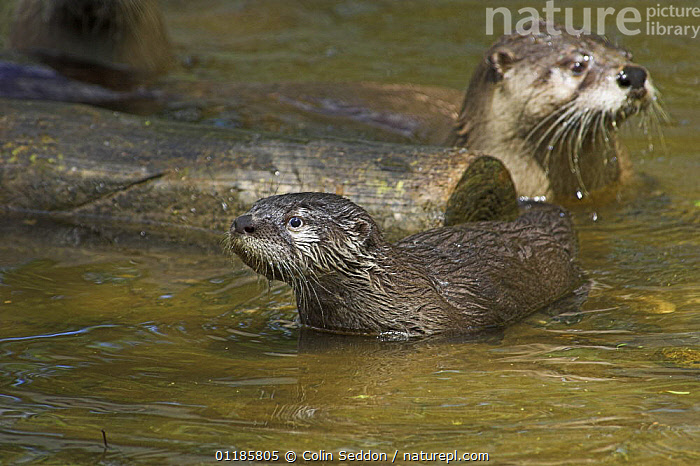 North American / Canadian otter {Lutra canadensis} 12-week cub and bitch, captive, UK  ,  CARNIVORES,EUROPE,MAMMALS,MUSTELIDS,OTTERS,VERTEBRATES,United Kingdom  ,  Colin Seddon