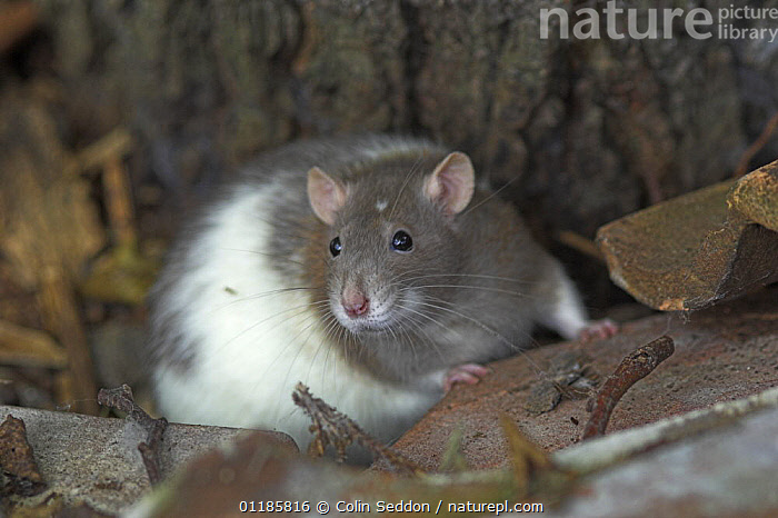 Broken-coated satin fancy rat {Rattus sp.} cptive, UK  ,  EUROPE,MAMMALS,PETS,PORTRAITS,RATS,RODENTS,UK,VERTEBRATES,United Kingdom,British,Muridae  ,  Colin Seddon
